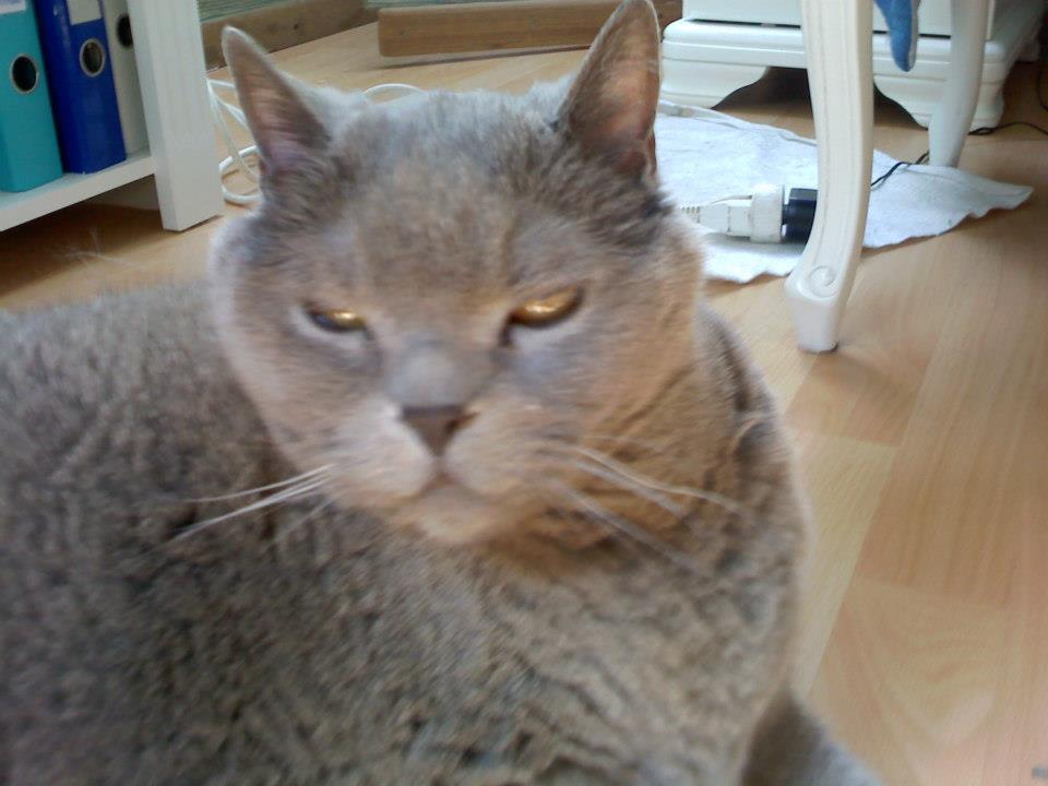 """mon chat """"mistou"""" chartreux mort"""